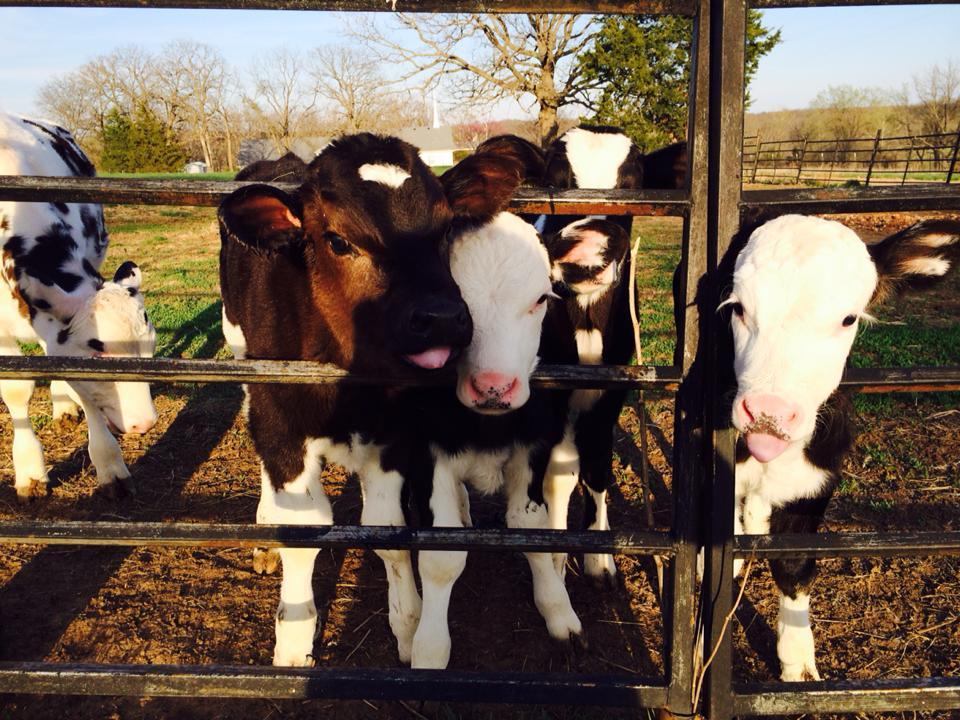 calves through fence