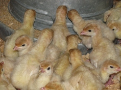 Buttonwood Farm turkey poults