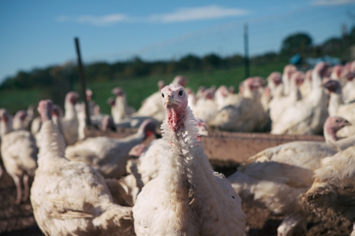 Farm: Turkey Stands By Watering Trough
