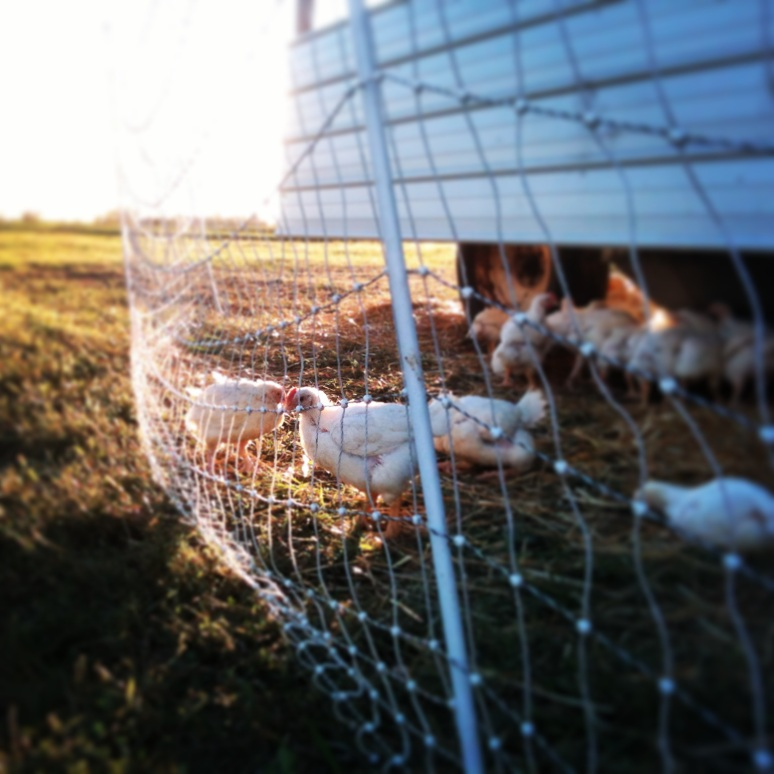 Chickens on Pasture